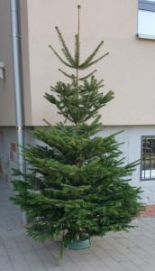 Christbaum 2016 noch ungeschmückt
